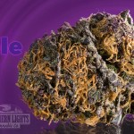 Deep Purple Bud Closeup
