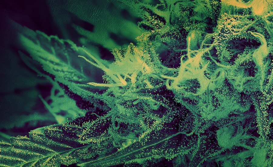 Closeup Digital 303 cannabis photography of a marijuana plant